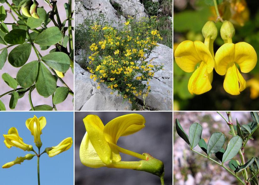 Phan tả diệp là loại cây có thể hỗ trợ tiêu hao mỡ thừa cho cơ thể