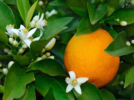 Hoa cam đắng ngăn cảm giác thèm ăn