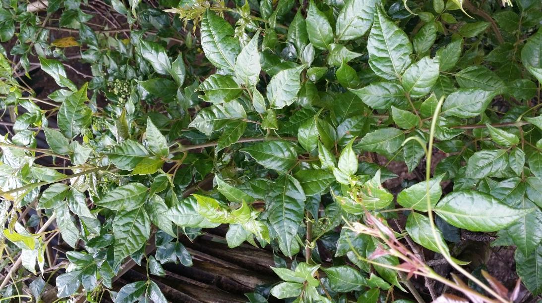lá cây chữa bệnh dạ dày